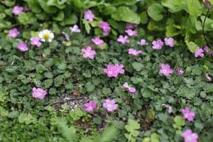 Floral lawn: Erodium variabile 'Bishops form'
