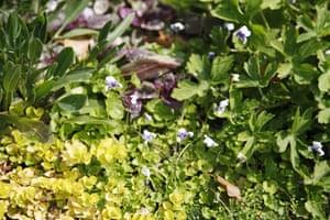 Floral lawn: Avondale flowering lawn