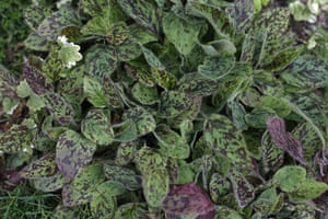 Floral lawn: Hieracium maculatum 'Leopard'