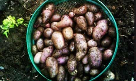 Potato harvest at Pig Row
