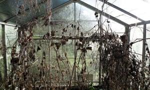Dead plants in a greenhouse