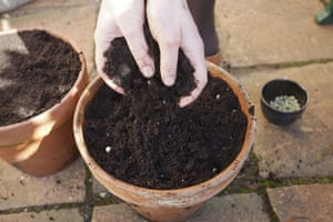 Summer of salads: Covering peas with compost