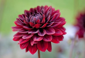 Cut flower patch: Dahlia 'Karma Choc'