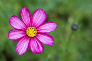 Cut flower patch: Cosmos bipinnatus 'Candy stripe'