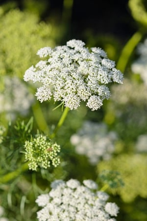 Cut flower patch: Ammi visnaga