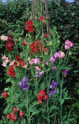 Cut flower patch: Sweet peas (Lathyrus odoratus)