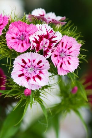 Cut flower patch: Sweet william (Dianthus barbatus)