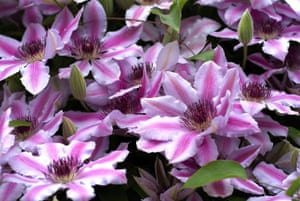 Clematis: Clematis 'Nelly Moser'