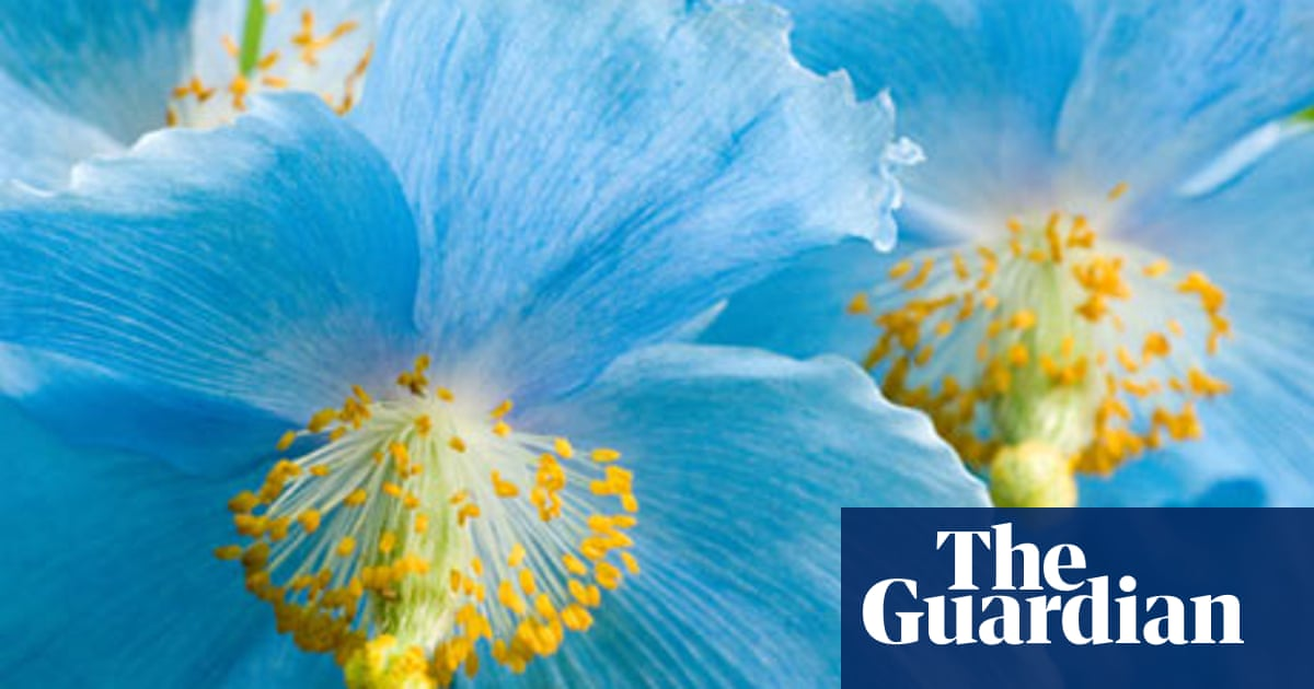 Plant of the week: Himalayan blue poppy | Life and style | The Guardian