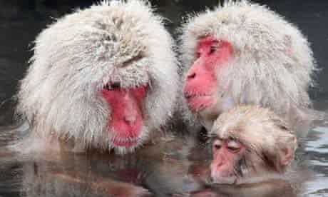 Macaque monkeys in hot springs in Japan
