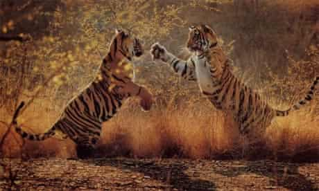 BBC Natural World: tiger cubs fighting