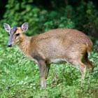 Muntjac Deer; Muntiacus reeversi; female;