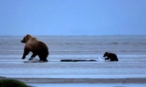 The Great Bear Stakeout