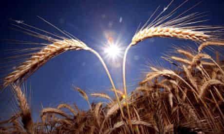 Wheat spikes in a corn field