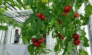Tomatoes in indoor garden