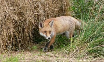fox wildlife photographer of the year