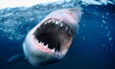 A great white shark baring its teeth
