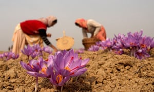 Kashimiri Woemn Collecting Saffron Flowers