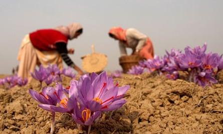 Kashimiri Woemn Collecting Saffron Flowers
