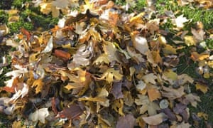 A pile of golden autumn leaves