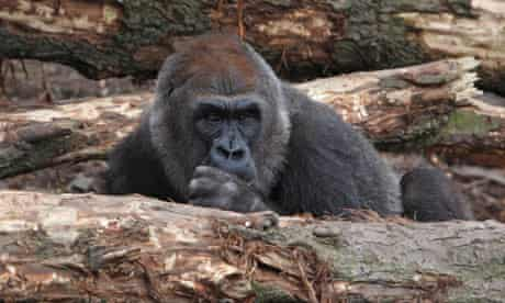 Gorilla moved to London Zoo