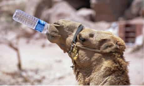 Camel drinking, Jordan, Petra.