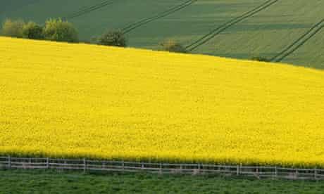 Rape Seed Crop Field, UK