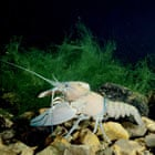 Signal or American Pacific crayfish Pacifastacus leniusculus underwater showing large pincers
