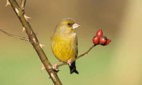 Greenfinch Chloropus carduelis in autumn. Image shot 2007. Exact date unknown.