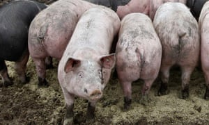 Pigs at an ecological pig farm