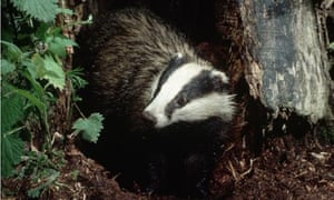 Dairy farmers fear badgers are spreading tuberculosis