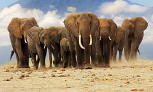 African elephants in front of Kilimanjaro