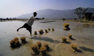 Paddy Farming in India