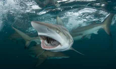 Gaping blacktip shark, Aliwal Shoal, South Africa.