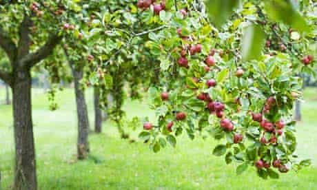 Apple Tree Orchard at Cider Farm