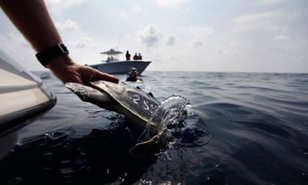 Wildlife researchers releasing sea turtles back into Gulf