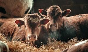cattle in barn