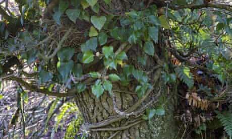 Ivy on Dan Pearson's land