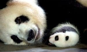 Natural World Panda Makers