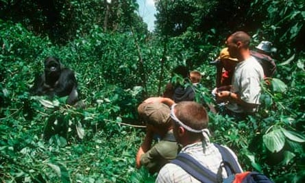 Tourists with Mountain Gorilla in Congo
