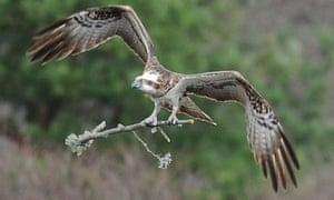 Osprey lady lowes scotland