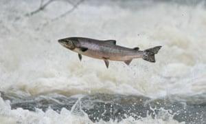 Wild salmon at Philiphaugh cauld in Scottish Borders