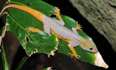 The psychedelic Vietnam gecko.