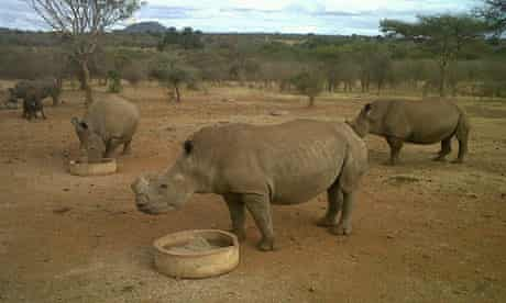 Rhinos feed at Mauricedale nature reserve in Malelane, South Africa