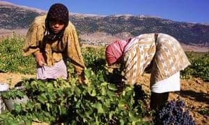 Harvesting in vineyard of Chateau Musar at Aana in the Bekaa Valley Lebanon