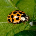 Harlequin ladybird Harmonia axyridis variation red background with several small black spots