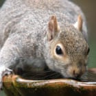 a grey squirrel drinking water from a pot