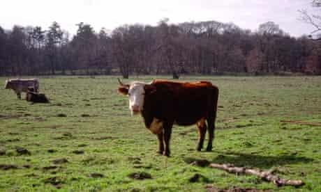 Cow in field Suffolk England