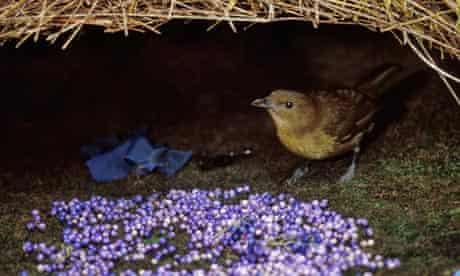 Brown Gardener (Amblyornis inornatus) bowerbird
