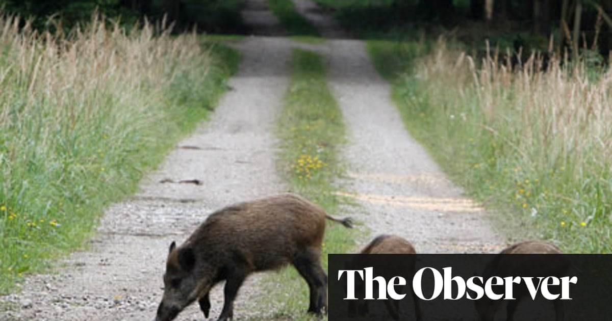 Here comes trouble: the return of the wild boar to Britain